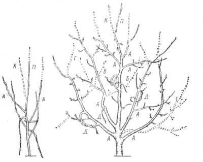Рис. 23.  Примерная схема обрезки молодого дерева яблони.  Пунктиром обозначены ветви, подлежащие удалению.